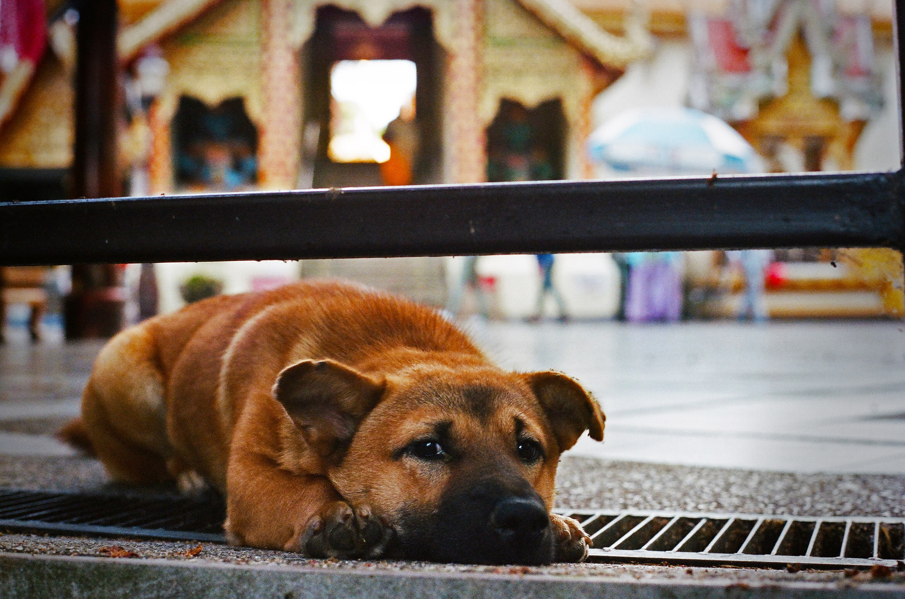 Stray - Wat Phra That Doi Suthep, TH