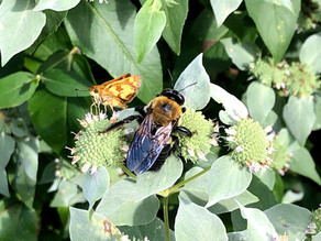 """Building """"Pollineighbors"""" with the Hastings Pollinator Pathway"""