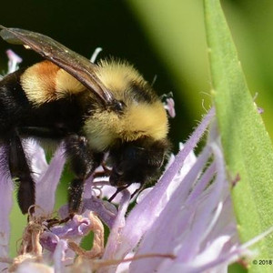 Rusty Patched Bumble Bee Gets Its Day in Court... Again