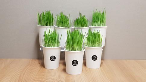 Live Cat Grass