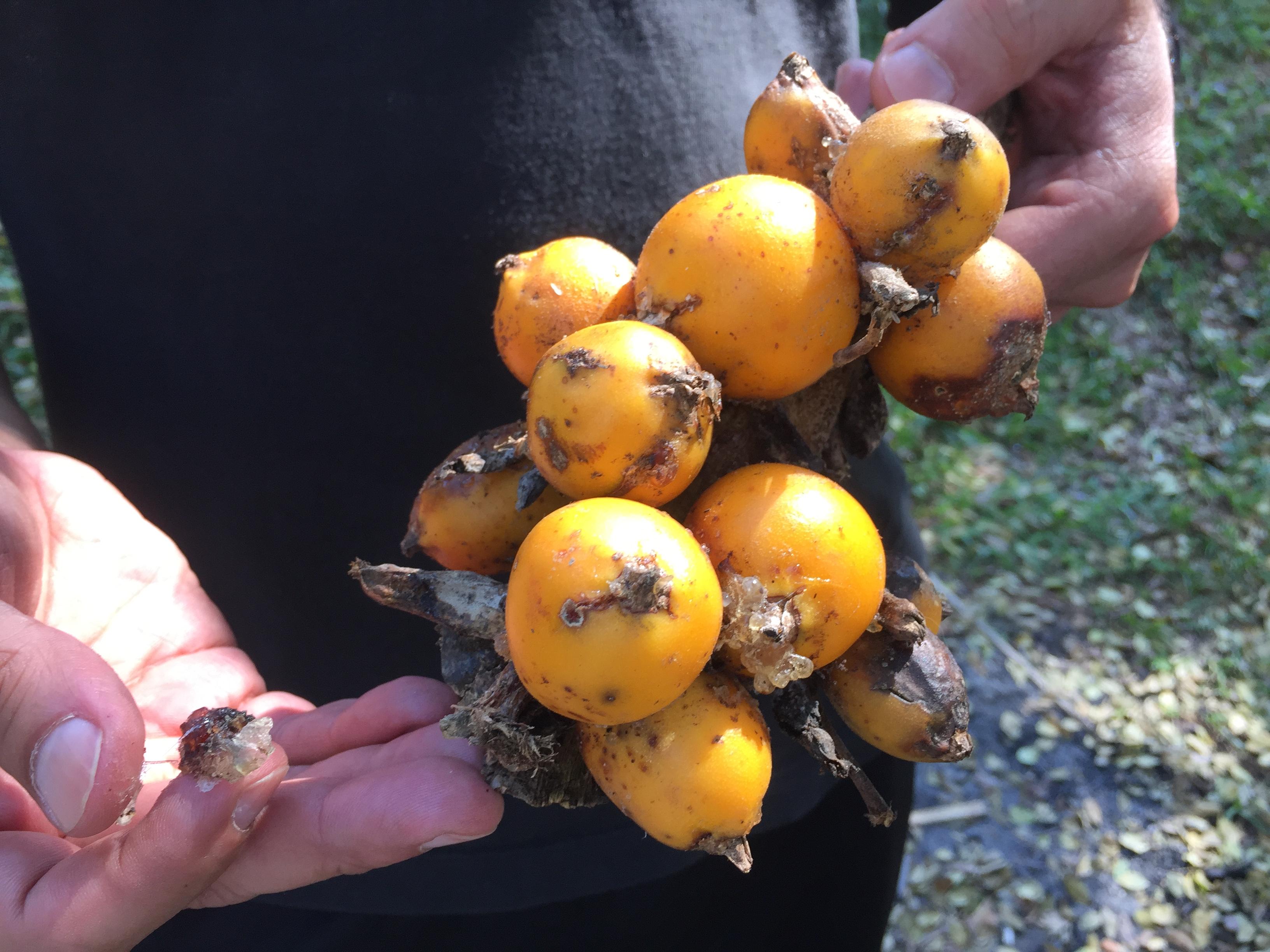 CARAGUATA FRUIT