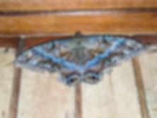 blue moth.jpg