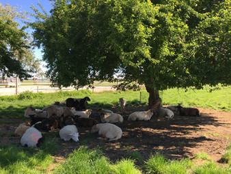 Schafe unter Baum.jpeg