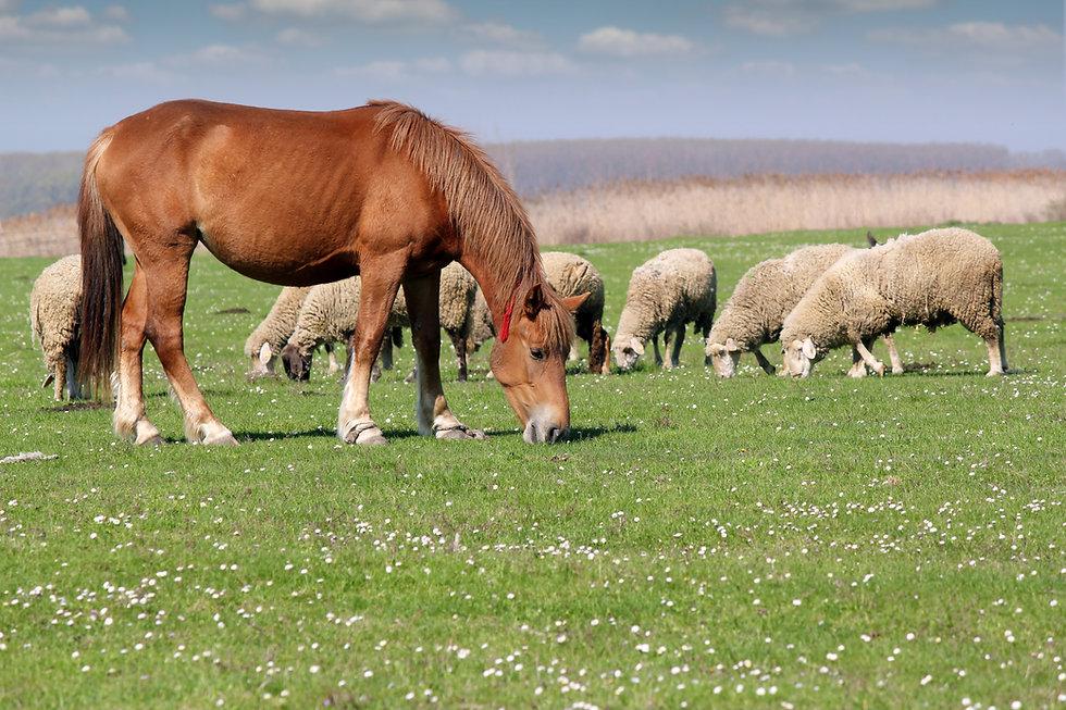 Pferd mit Schafe.jpeg