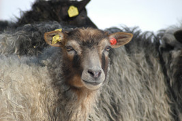 Sheep Whisperer 4.jpg