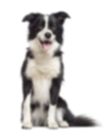 Border Collie, 1.5 years old, sitting an