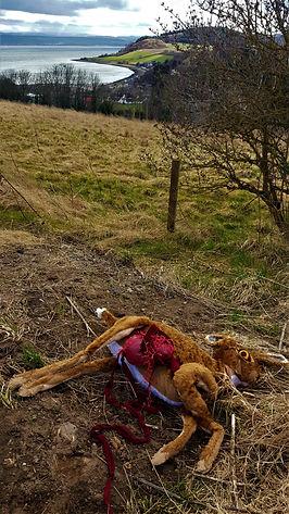 Dead hare 1.jpg