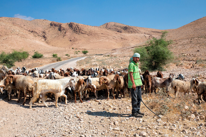Shepherd Al Auja