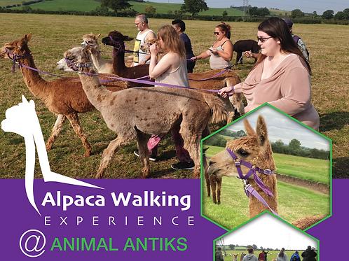 Alpaca Walking