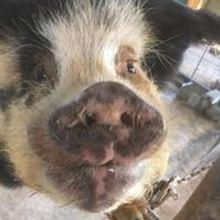 Ben the pig