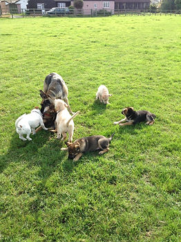 Mum Bella with her puppies - The Bindies