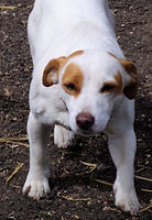 Titch the jack russell