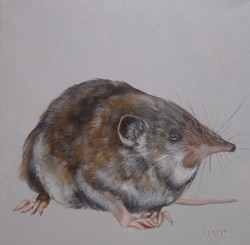 The Etruscan Whitetoothed Shrew