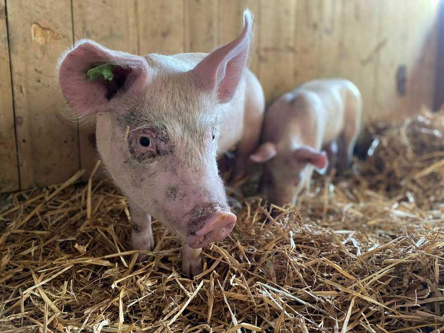 Schweine Tierlignadenhof