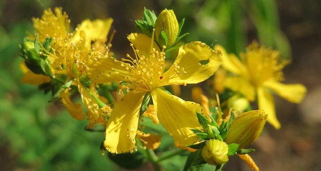 Johanniskrautpflanze, hat keine Nachteile wie chemische Antidepressiva.