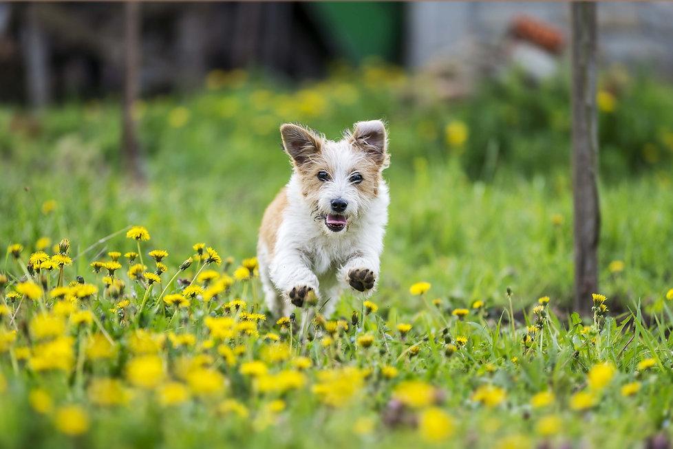 bigstock-adorable-terrier-dog-running-i-