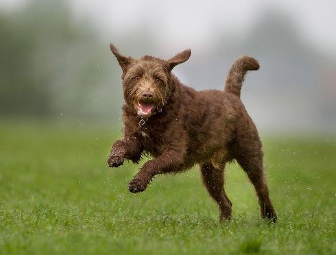 bigstock-Brown-Dog-On-Grass-Lawn-1277392