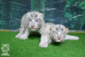 Newborn white tiger cubs at Tiger Kingdom Mae Rim Chiang Mai