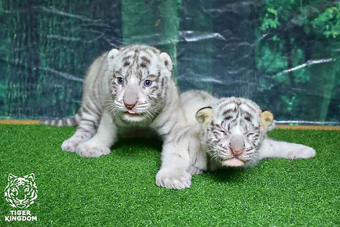 Newborn white tiger cubs at Tiger Kingdom Mae Rim Chiang Mai