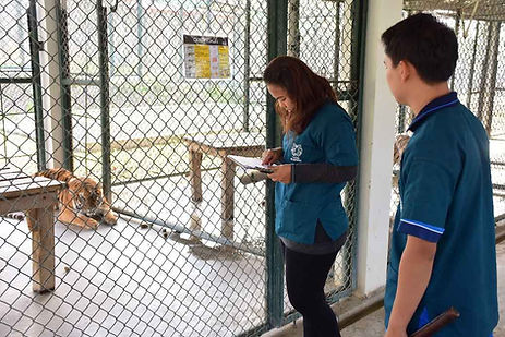 Daily Routine Health Check at Tiger Kingdom
