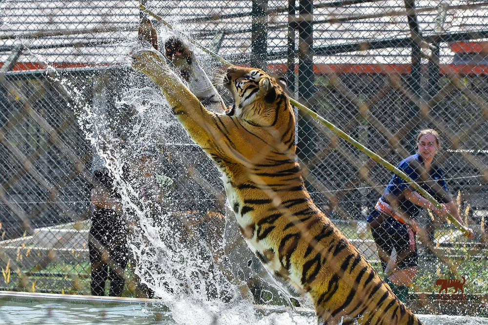 Tiger playtime on the Keeper for a Day Experience!