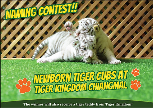 Newborn White Tiger Cub naming contest at Tiger Kingdom Chiang Mai