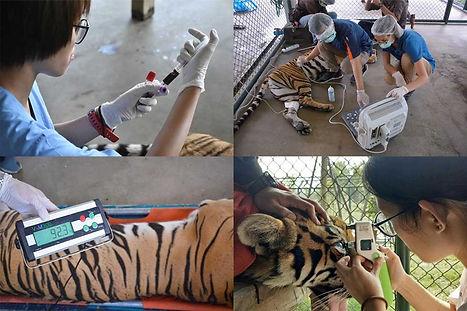Tiger Annual Health Check at Tiger Kingdom