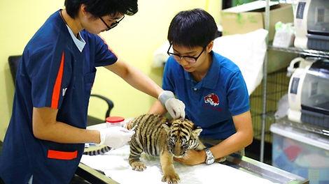 Tiger Vaccination, Tiger Kingdom