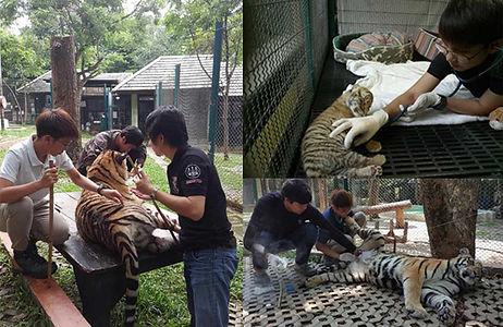 General Patient Treatment at Tiger Kingdom