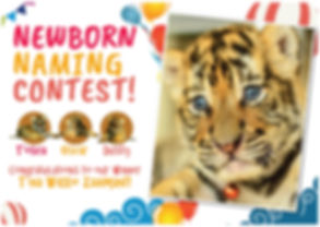 Tiger Kingdom Phuket newborn cubs naming contest