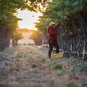 Eberle Harvest