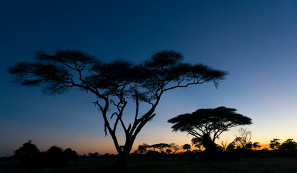 Acacia Trees Botswana