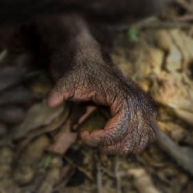 Hand of Orangutan