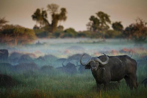 Buffalos in the Mist