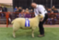Res Ch Ewe with Rosette.jpg