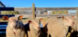 Three rams.jpg