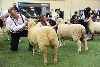 Res Ch Ewe in ring.jpg