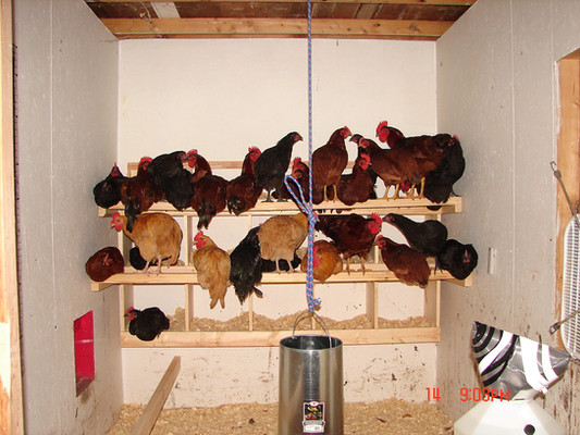 Picking out what rooster that wouldn't be returning to the coop that night was hard.