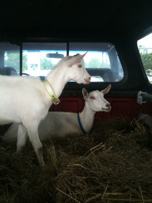 Our trip home with our new dairy goats.
