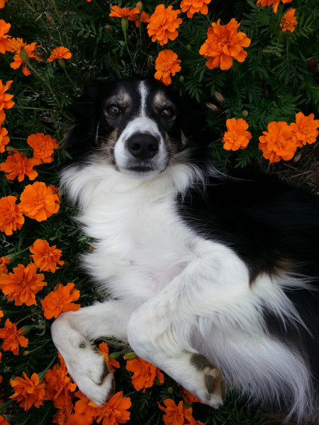 I was working hard in the garden one evening, and Gracie came and flopped down in the middle of my biggest and best patch of marigolds. It instantly reminded me to stop and enjoy what I was doing, find more joy in workloads instead of focusing on the end or how hard I was working.