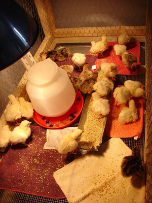As soon as the birds learn to eat and drink regularly, they are ready to leave the small brooder cage.