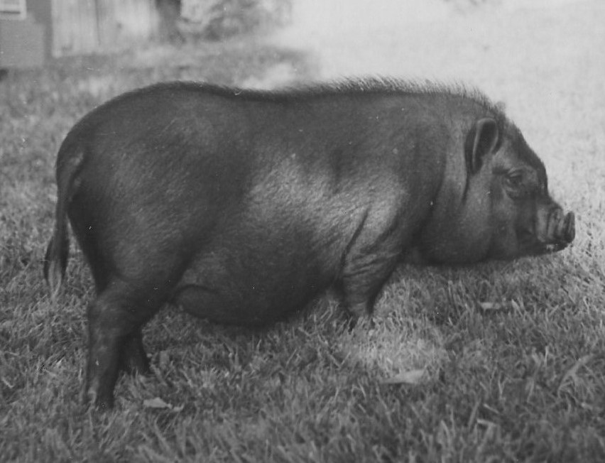 As Piggy Sue, the pot-belly pig grew to an overwhelming size for the house. Her name evolved to Pea Soup.