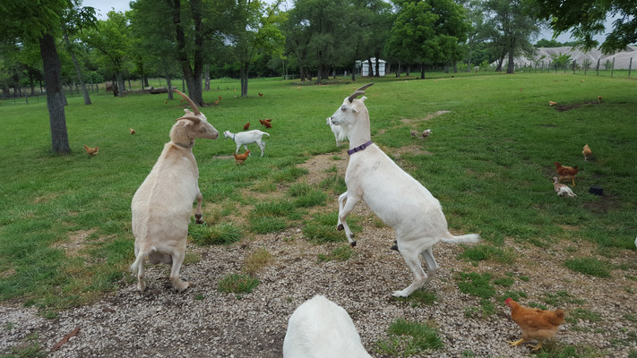 Female goats grow horns just like males. These two were my first kids. One was sick with pneumonia, and the other I didn't have the heart to disbud (remove) the horns at a few days old. The horns were a problem. Goats get moody with each other and their caretakers. I kept the horn tips trimmed and filed dull to help prevent injury, but it was another time burning chore that I didn't need on top of so many hooves to keep trimmed. Goats need their hooves trimmed monthly. That is a lot of feet to trim if you have eight goats.