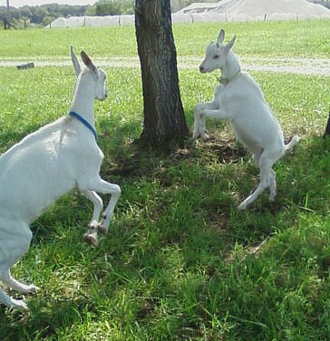 The goats were so happy to have so much room to run and play.