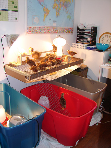 I built the chickens a shelf to keep them off of the desk before being moved to the garage for a short stay.