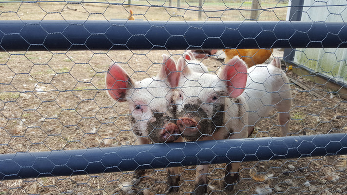 I'd let the pigs out a few hours at a time as they learned hotwire in the goat pasture.