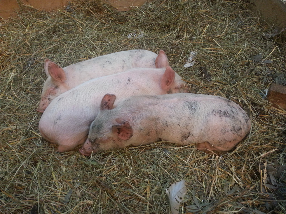 New pigs on your homestead need a few days to learn about their new surroundings. They should be kept in a smaller confined area without a lot of activity.