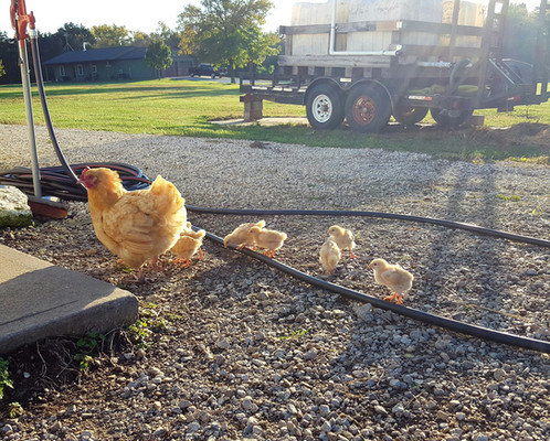 I always keep a broody hen or two around and allow them to hatch and raise their offspring. I think it is a good homestead habit. It is good to keep this instinct alive, especially if, for some reason, there wasn't any electricity to run incubators. Some chickens are better than none.