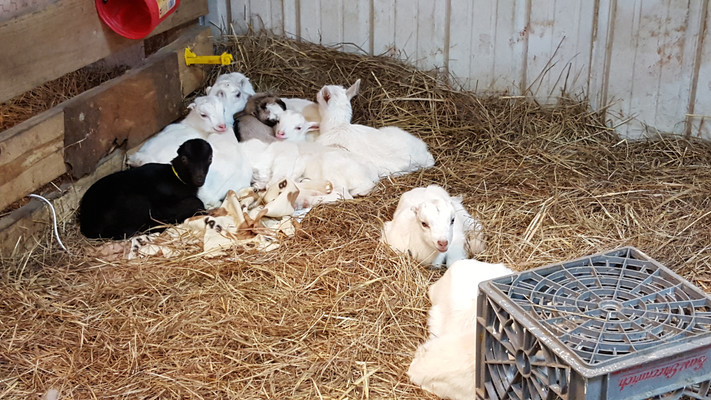 Goat kids will imprint on who feeds them in a day or two. You become the surrogate momma. I practiced raising goat kids in the house until I had to go through the pain of putting them out on pasture when they got big enough. They would stand at the fence and scream-cry until they were hoarse because they wanted to be in the house with me. It was heartbreaking.  They didn't understand the unexpected change in their surroundings and the sudden disowning of them behind a fence. The posh life of blankets and pillows abruptly changes to fence and hay, and they don't understand why they have been abandoned, so they scream for their human mommas. They feel left behind. This teaches them to scream for attention, which becomes problematic when they are fully grown. Goats that learn to call for attention will scream each time they see you. I couldn't let the dogs outside to go to the bathroom, bring in groceries, or mow the lawn without the goats seeing me and screaming for attention.  I started raising the kids in the barn with a lot less human interaction- about an hour a day, the time needed for milking adults. They became more independent from me and grew closer to each other. They no longer needed the constant human coddling to be comfortable and, for me, the most important, quiet.  It was hard not to love them so much as adorable kids, but it made for a more pleasant day outside every day when they were grown. Goats will expect the same kind of treatment they get as kids for the rest of their lives. (Dogs also expect the same treatment for the rest of their lives they get as puppies.) So hold them often if you plan on doing it for the rest of their lives daily, no matter how big or old they get.
