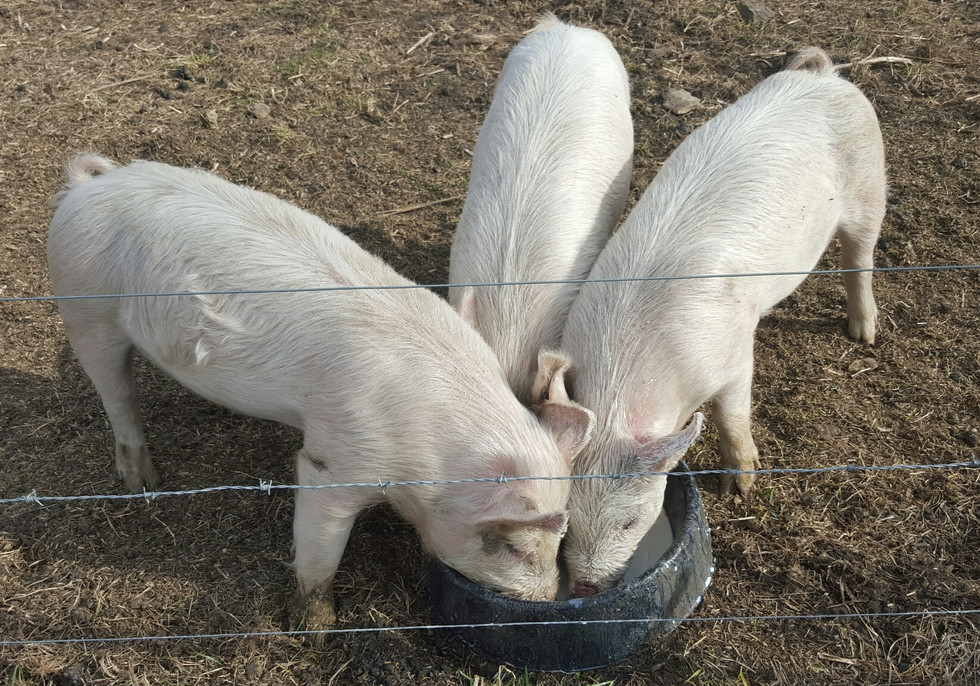 It does take some time to turn out a pig. However, you can harvest them at any size you see fit.